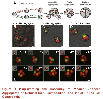 2014-04-22 10_12_33-Programmed Cell-to-Cell Variability in Ras Activity Triggers Emergent Behaviors
