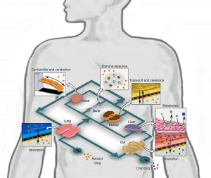 By Timothy.ruban - Own work, CC BY-SA 3.0 - 2017-04-13 06_44_38-Conceptual Schematic of a Human-on-a-Chip - Organ-on-a-chip